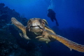 Face to Face When you are the biggest creature cruising around at any given moment you have the right of way. This large Loggerhead Turtle just kept his chosen path and it was up to me to snap this shot and roll out of the way.