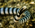 A banded sea snake cruising on the shallow sand at Lembeh Strait, Indonesia