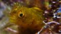 Roughhead Blenny - Acanthemblemaria aspera