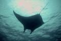 Manta Night Dive at Kona, Hawaii