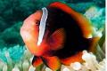 Red Nemo