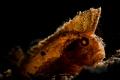 The Cockatoo Waspfish