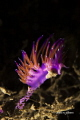 Nudibranch flabellina rubrolineata with eggs