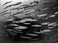 Crosstown Traffic  Chevron Barracuda - Sphyraena qenie  Sail Rock, Thailand