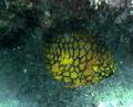 Pineapple Fish Little Beach Pt Stevens