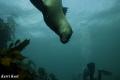 Playful Cape Fur Seal