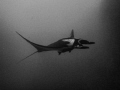 Manta Ray gliding through the water. Shot at Roca Partida. My first liveaboard trip was to the Revillagigedo Islands.