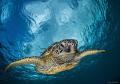 Honu is the Hawaiian name for Sea Turtle.