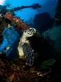 The Dude abides  Hawksbill Turtle   Eretmochelys imbricata  Liberty Wreak  Bali