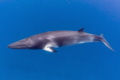 A shy Dwarf Minke Whale swimming in clear blue water !