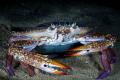 Crab   Night Dive  Qatar  South