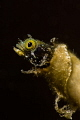 The Spinyhead Blenny