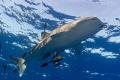 Whaleshark on surface, Isla San Benedicto Mexico