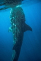 This whaleshark get perpendicular to the surface to feed......