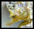 Sea horse eye