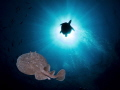 Electric Ray and a turtule close to the sun. Red Sea, Egypt, Ras Umm Sid