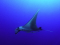 Ocianic Manta Ray.
