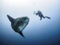 Like The Desert  Southern Ocean Sunfish - Mola ramsayi  Gilli Mimpang, Bali, Indonisia