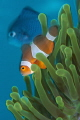 Blurry Clownfish Photobomb