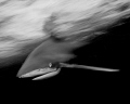 A black and white oceanic white tip shark in action photographed with slow shutter speed