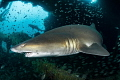 'Caribsea Companions' - There is no better place to find sand tiger sharks than the wreck of the Caribsea, a WWII freighter that was torpedoed on March 11, 1942, and now lies in 90ft of water off the coast of North Carolina.