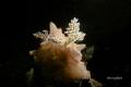 Nudibranch batangas halgerda (halgerda batangas) torch light