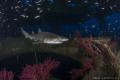 A Sand Tiger shark cruises the Aeolus Wreck in North Carolina