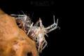 B O N G O   S H R I M P Bongo shrimp  Phyllognathia ceratophthalma  Tulamben  Indonesia. July 2015