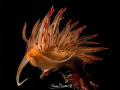 Dondice banyulensis