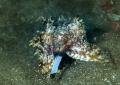 Cuttlefish Flamboyan Lembeh strait Nikon D800E   105 macro   two strobo