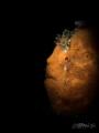 T A N G E R I N E  Juvenile Frogfish