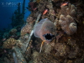 Moray Eel   Gymnothorax javanicus