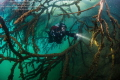 Diver in submerged trees