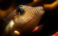 Sharpnose Puffer (Canthigaster rostrata)
