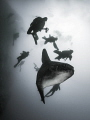 Helter Skelter  Southern Ocean Sunfish - Mola ramsayi  Gilli Mimpang, Bali, Indonisia