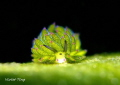 this sheep nudi is only 0.4cm. Photo taken in Lembeh. Manado. Indonesia.