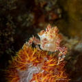 Orange Crush   These little soft coral crabs are so good at disguise! I was excited to find one posing on the top of the coral - as if he wanted to be sure to get the cover shot of my next calendar! Oly EM1 12-50mm at 43 Macro +5 diopter 2 strobes
