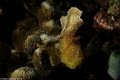 Paper Scorpianfish - Taenianotus triacanthus