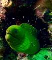 Posing green moray