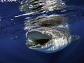 Whale Shark picture taken off coast of Isla Mujeres .