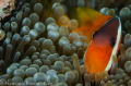 Anemone Fish Invitation to his house