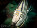 A banded Butterfly fish stopped swimming to check out my port...I think she saw her reflection in there.