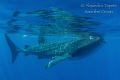 Whaleshark in the surface  Isla Contoy Mexico