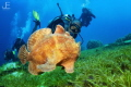 Giant Frogfish swimming with diver