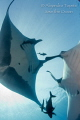 Mantarays dance  Isla San Benedicto Mexico