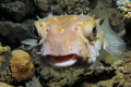 So sweet  The Yellowspotted burrfish  Cyclichthys spilostylus