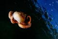 flyng octopus