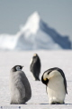 The emperor penguin family on the Antarctic sea ice (Ross Sea - Baia Terra Nova - Antarctica)