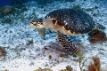 On a great drift dive  this beautiful turtle didn t seem at all leary of divers.  Just doing his thing in Cozumel.