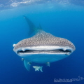 Happy International Whaleshark day Image taken in St. Helena, British Overseas Territories, South Atlantic